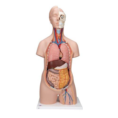 Torso-Modell, geschlechtsneutral, 12-tlg - 3B Smart Anatomy