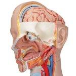 Torso-Modell, geschlechtsneutral, 16-tlg - 3B Smart Anatomy