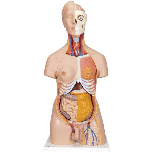 Torso Model, Dual Sex, 20 part - 3B Smart Anatomy