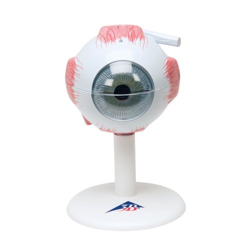 Augen-Modell, 3-fache Größe, 6-tlg - 3B Smart Anatomy