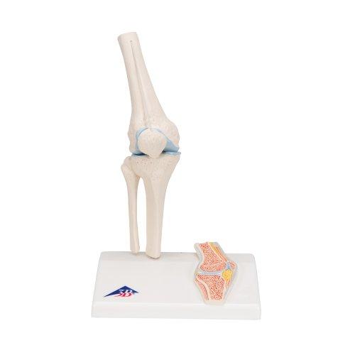 Mini Kniegelenk-Modell mit Querschnitt - 3B Smart Anatomy