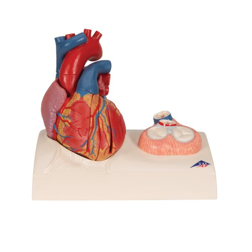 Heart Model with Representation of Systole, 5 parts - 3B Smart Anatomy