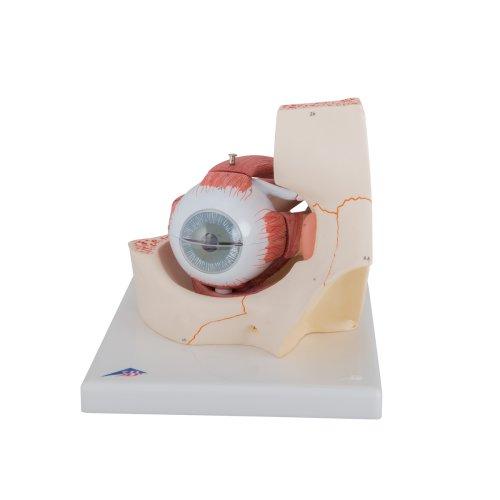 Eye Model, 3x magnified, 7 part - 3B Smart Anatomy