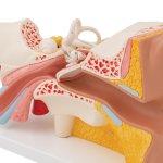 Ear Model, 3x magnified, 4 part - 3B Smart Anatomy