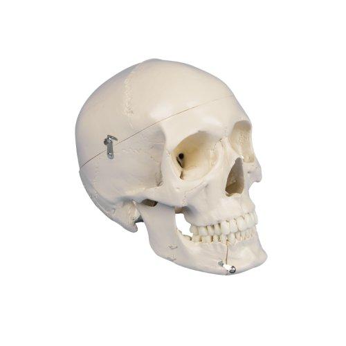 Dental skull model, 4 parts