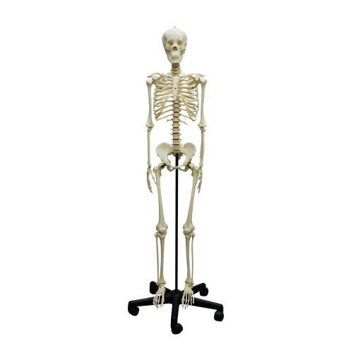 Skelett-Modell eines Heranwachsenden