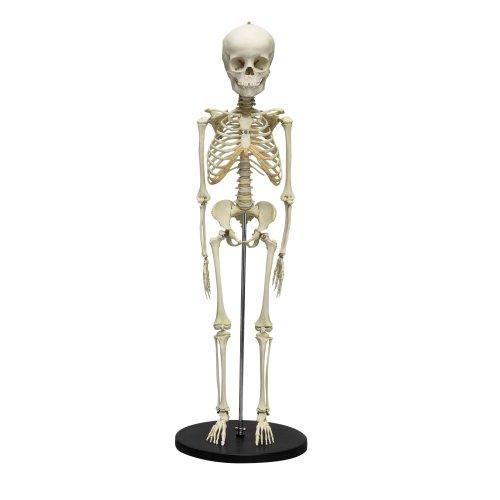 Skelett-Modell eines 5-jährigen Kindes