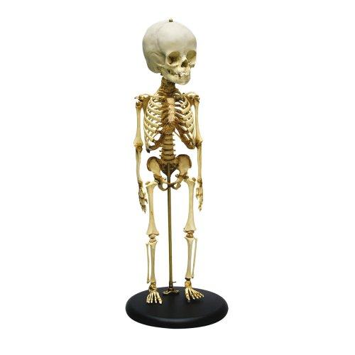 Child skeleton model 14 to 16 months old