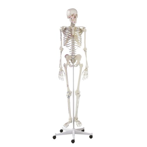 """Skeleton model """"Arnold"""" with muscle markings"""