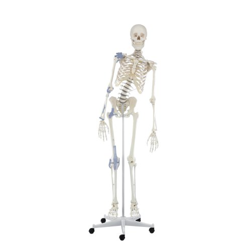 """Skeleton model """"Toni"""" with movable spine and ligaments"""