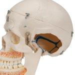 Dental Skull Model for Demonstration, 10 part - 3B Smart Anatomy