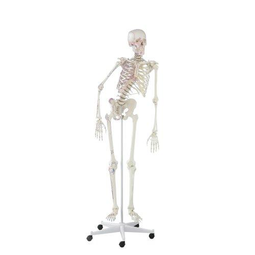 """Skelett-Modell """"Peter"""", beweglich, mit Muskelmarkierungen"""