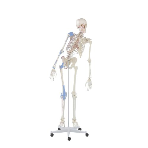 """Skeleton model """"Max"""" with movable spine, muscle markings and ligaments"""