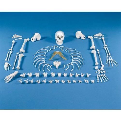 Skeleton model, unassembled (bone collection)