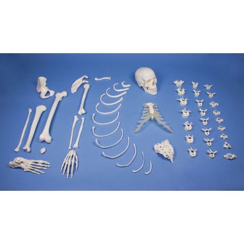 Half skeleton model, unassembled (bone collection)