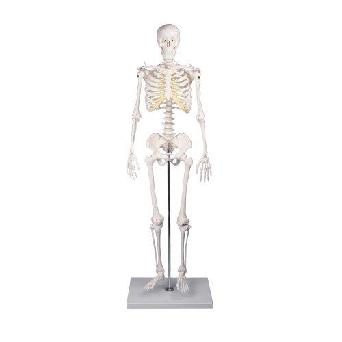 """Miniatur-Skelett-Modell """"Tom"""""""