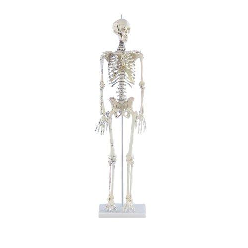 """Miniature skeleton model """"Daniel"""" with muscle markings"""