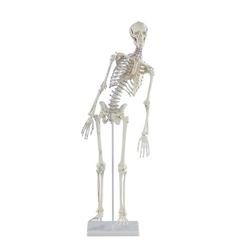 """Miniature skeleton model """"Fred"""" with movable spine and muscle markings"""