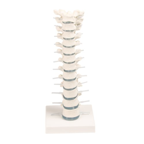 Thoracic spine model on stand