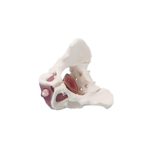 Männliches Becken-Modell mit Beckenbodenmuskulatur