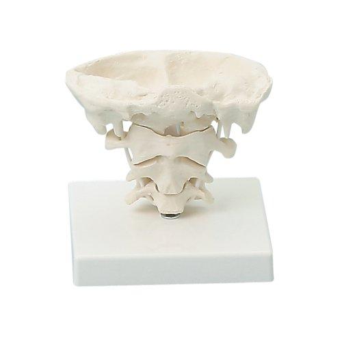 Kopfgelenk-Modelle, natürliche Größe, mit Stativ