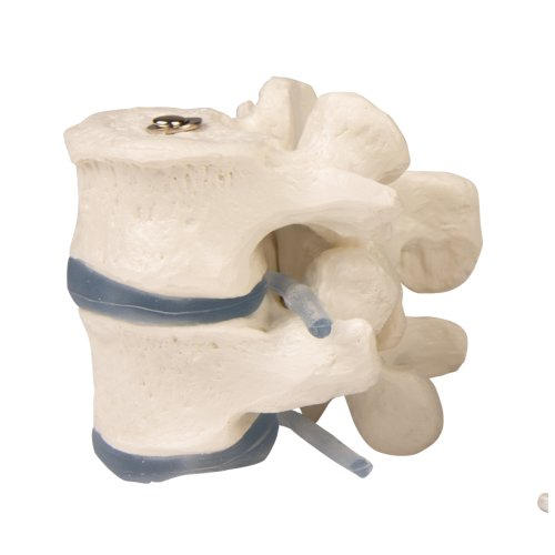 2 lumbar vertebrae model