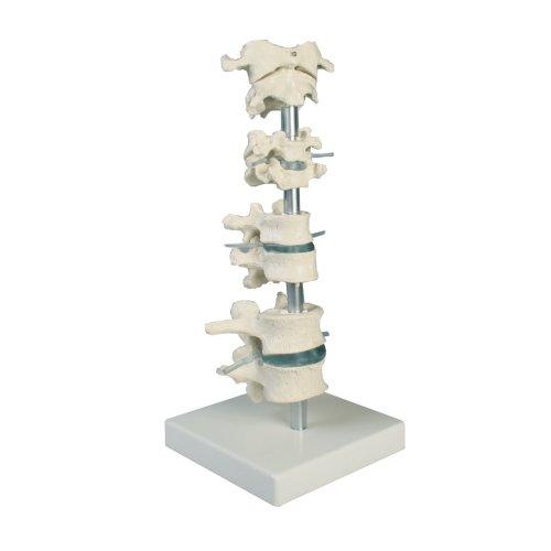 Vertebra collection, 8 vertebrae model on stand