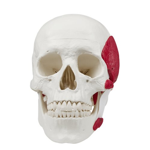 Skull model with masticatory muscles, 3 partss