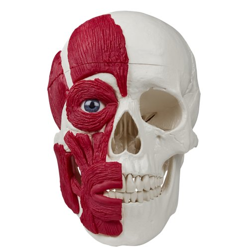 Skull model with musculature