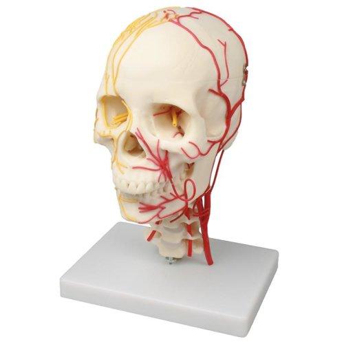 Neurovasculärer Schädel-Modell
