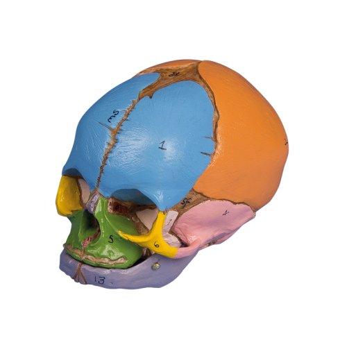 Didactic foetal skull model, 38 weeks