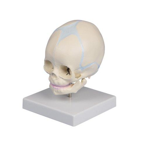 Fetus skull model, 30 weeks