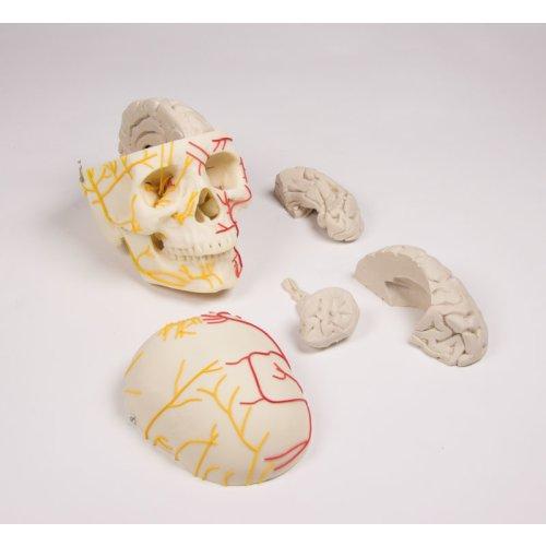 Neurovasculärer Schädel-Modell mit Gehirn