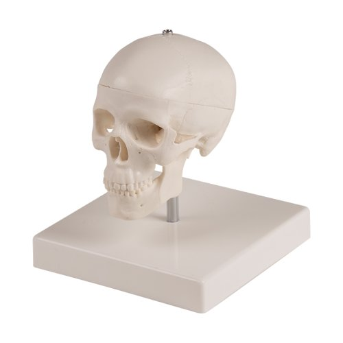 Miniatur-Schädel-Modell, mit Stativ
