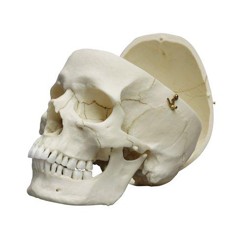 Schädel-Modell eines Erwachsenen, männlich