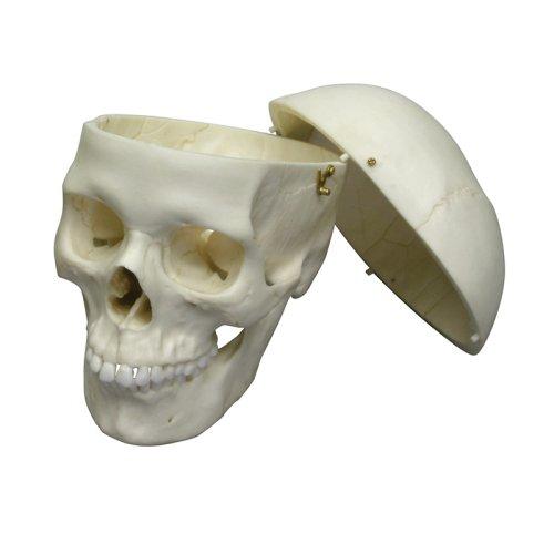 Adult skull model, female