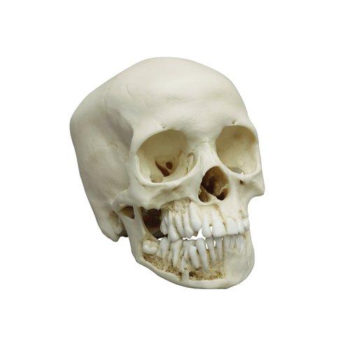 Child skull model, 12 year old