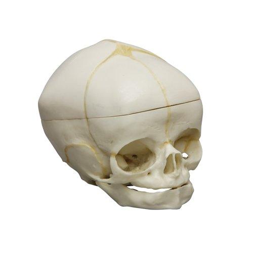Fetal human skull model 40 weeks with calvarium cut