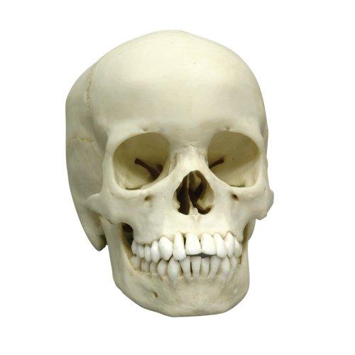 Menschlicher Schädel-Modell, 13-jährig
