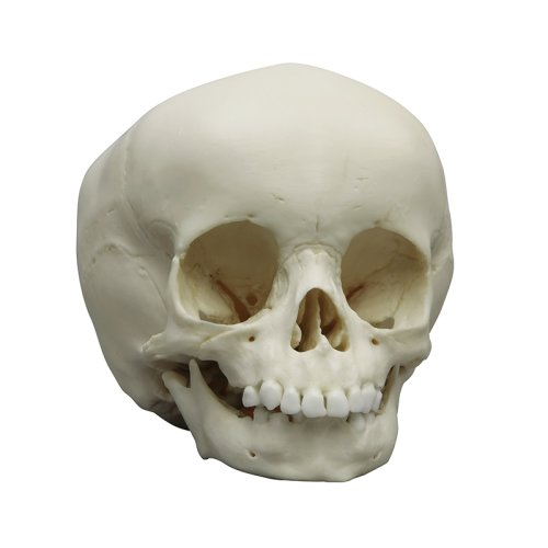 Child skull model, 15 months old