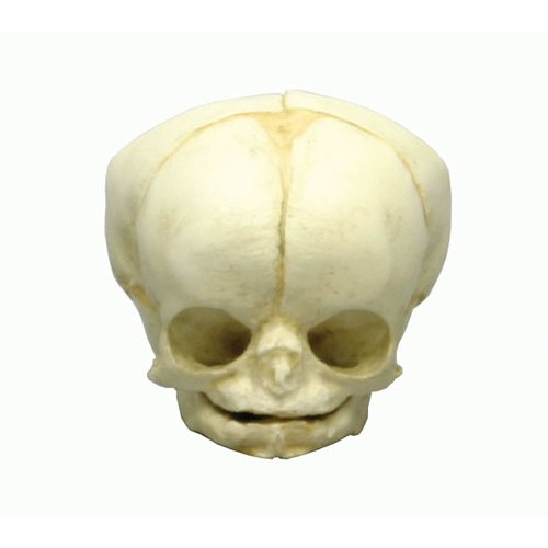 Fetal skull 35 weeks