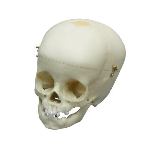 Child skull model, 1 year old