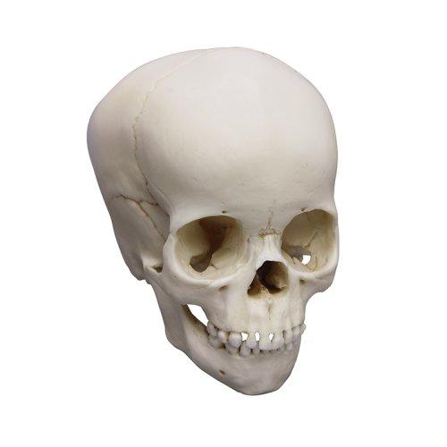 Child skull model, 4 year old