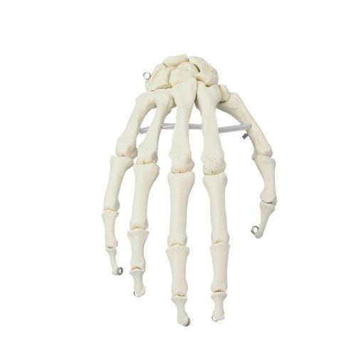 Handskelett-Modell