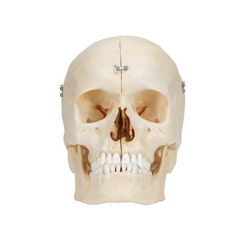 Skull Model BONElike, 6 part - 3B Smart Anatomy