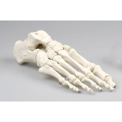 Fußskelett-Modell