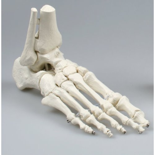 Foot skeleton model with tibia and fibula insertion