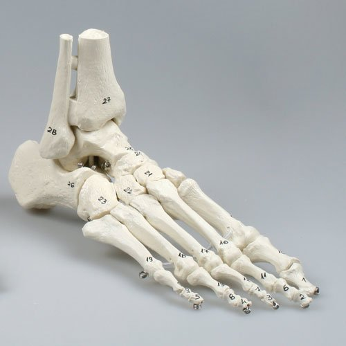 Foot skeleton model with tibia and fibula insertion, flexible and numbered