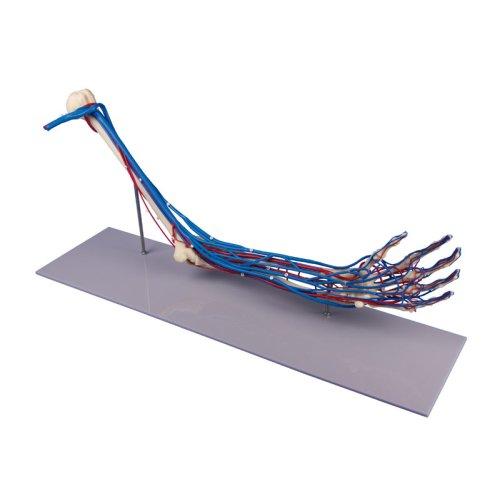 Arm skeleton model with vessels