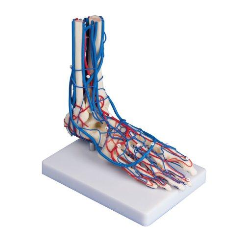 Fußgefäße-Modell